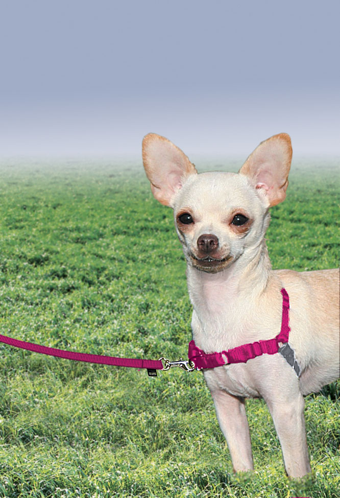 easy walk harness chihuahua  easy  get free image about